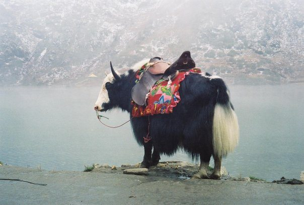 """The Yak"" by Nadeemmushtaque - Own work. Licensed under CC BY-SA 3.0 via Wikimedia Commons - http://commons.wikimedia.org/wiki/File:The_Yak.jpg#/media/File:The_Yak.jpg"